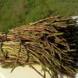 Calabria, cibo d'eccellenza: Asparago selvatico della Calabria. Quando e dove cresce. E tante, tante Ricette. Le migliori