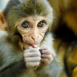 Alcune scimmie avrebbero l'anatomia adatta per parlare… il problema però è che non parlano!