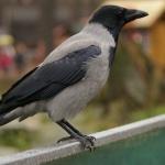 come-allontanare-i-corvi