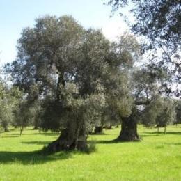 I Greci condannavano con la morte chi uccideva un albero d'ulivo