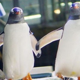 Pinguini gay, basta la natura a smontare la bufala