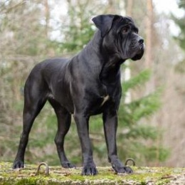 Il Cane Corso o Cane 'e presa, il cane dei Briganti