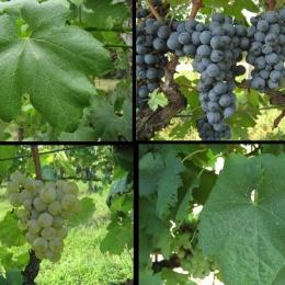 Raspato Nero e Reale Bianca, altri due vitigni laziali, in alta Terra di Lavoro, entrano nel Registro Nazionale